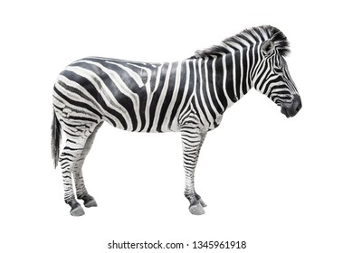 Zebra on white background isolated with clipping path.