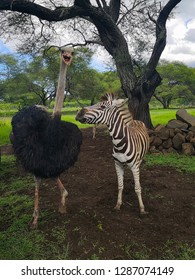 zebra and ostrich