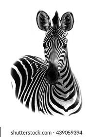 Zebra portrait in high key