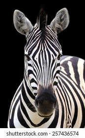 Zebra portrait isolated on a black background.