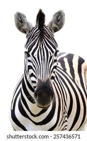 Zebra portrait isolated on a white background.