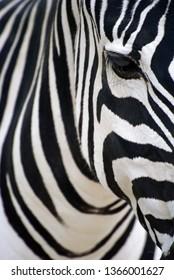 Zebra portrait, white and black stripes