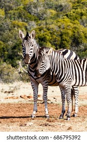 Zebra rubbing against the other Zebra at the dam.