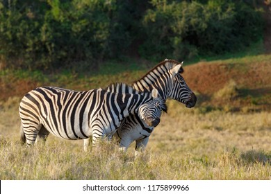 Zebra rubbing his head against his partner for some attention