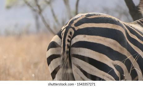 Zebra rump black and white stripes and stripy tail