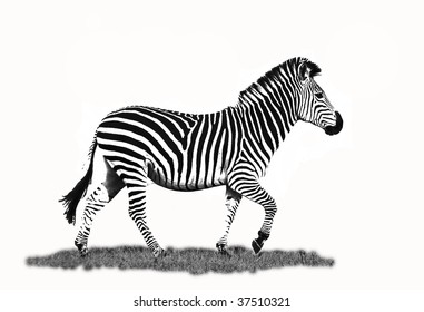 Zebra running isolated on white