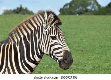 A zebra in a safari