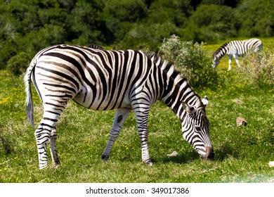 Zebra in a safari park in South Africa.