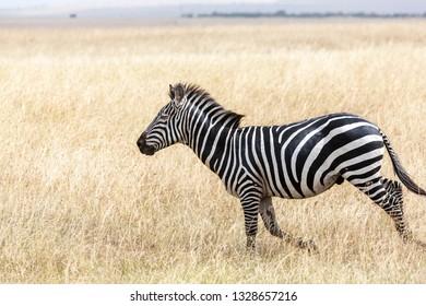 Zebra at the Savannah