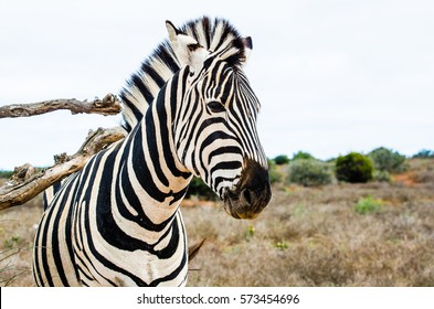 Zebra scratching its back in Addo National Elephant Park, Eastern Cape, South Africa