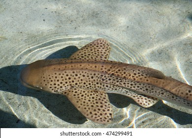 The zebra shark, a species of carpet shark, is found throughout the tropical Indo-Pacific.