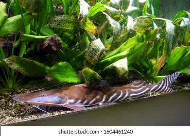 Zebra Shovelnose (Tigerstriped catfish, Brachyplatystoma tigrinum)
