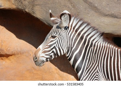 Zebra Side Profile next to rocks