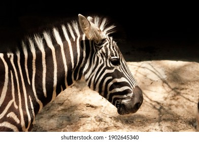 Zebra side view with black and white background