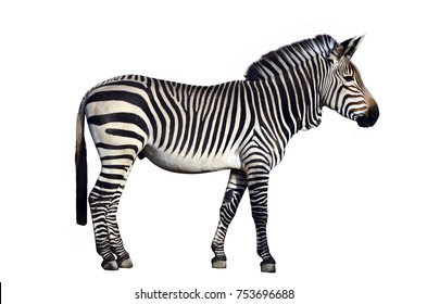 Zebra, side view, isolated on white background by clipping path