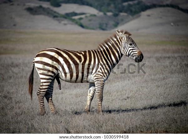 Zebra Stalion Zebras Members Horse Family Stock Photo (Edit Now