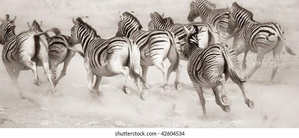 Zebra stampede in a cloud of dust : Etosha