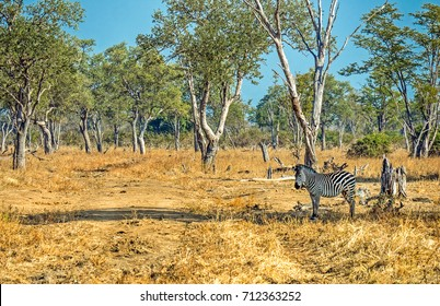 Zebra standing alone in the shade looking in camera in Zambia Africa