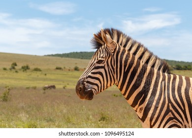 Zebra standing in the field on a cloudy day