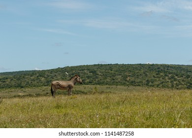 Zebra standing in the field surrounded with grass
