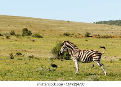 Zebra standing in the field wetting the grass