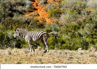 Zebra standing in his dumping position in the field.
