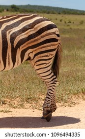 Zebra standing with his legs crossed in the field