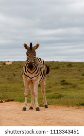 Zebra standing on the side of the road in the field