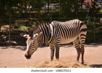Zebra standing in a plain.
