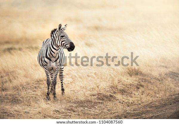 Zebra standing in the red oat grass plains of the Masai Mara, Kenya. In afternoon sunlight with space for your text