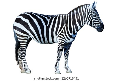 Zebra standing side view isolated on white background