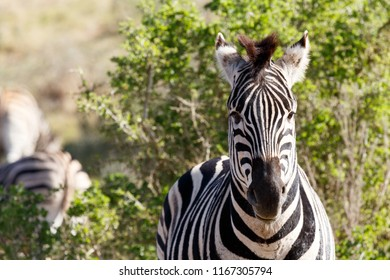 Zebra standing and staring in front of him in the field