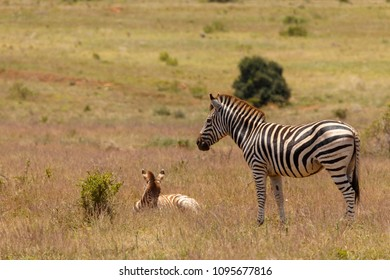 Zebra standing and watching over her baby lying in the field