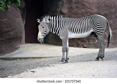 Zebra standing at the Zoo