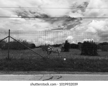 A zebra stands defiantly behind a fenced perimeter as the cloudy skies compliment the pigment of the zebra.