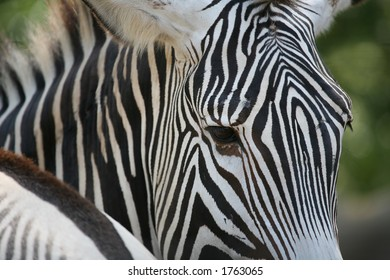 A zebra staring at the camera close-up