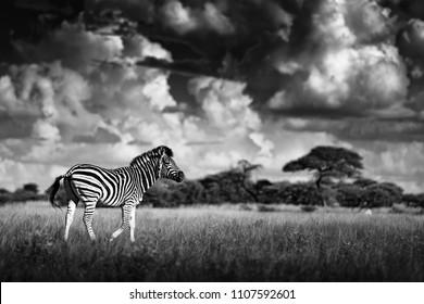 Zebra with storm dark sky. Burchell's zebra, Equus quagga burchellii, Nxai Pan National Park, Botswana. Wild animal on the meadow. Wildlife nature, African safari. Black and white Africa