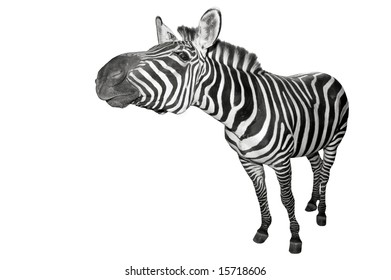 Zebra stretching his neck out.
