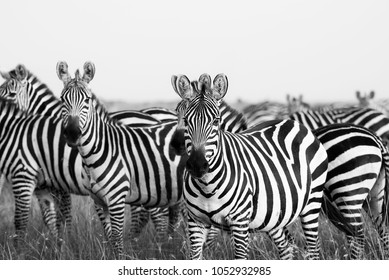 Zebra Stripes from Masai Mara