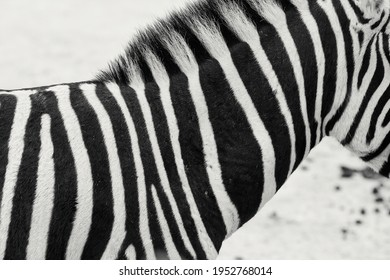 Zebra Stripes. striped life natural camouflage