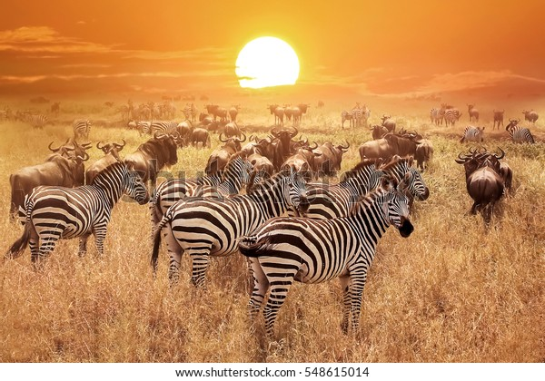 Zebra bei Sonnenuntergang im Serengeti Nationalpark. Afrika. Tansania.