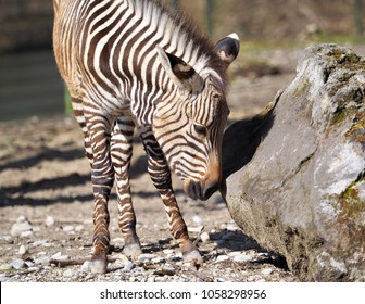 a zebra in the sunshine on a stone