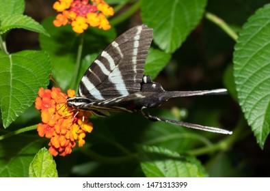 Zebra Swallowtail butterfly feeding on a Lantana flower