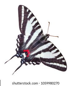 Zebra Swallowtail Butterfly isolated on a white background