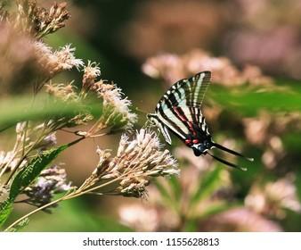 Zebra Swallowtail Butterfly on a Joe Pye Weed