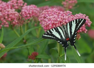 zebra swallowtail butterfly on swamp milkweed