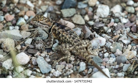 Zebra Tailed Lizard of Tucson, Arizona Desert