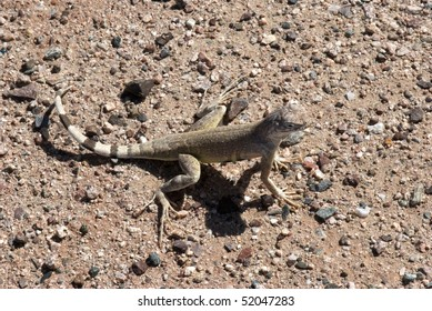 ZEBRA TAILED LIZARD  at Vulture Mine Ghost town