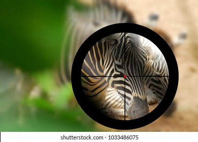 zebra targeted by a hunter with the cross hairs of the scope on rifle