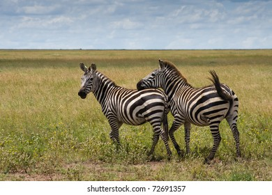 A zebra is touching another for courtship